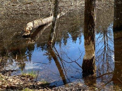 Bävrar har fällt träd