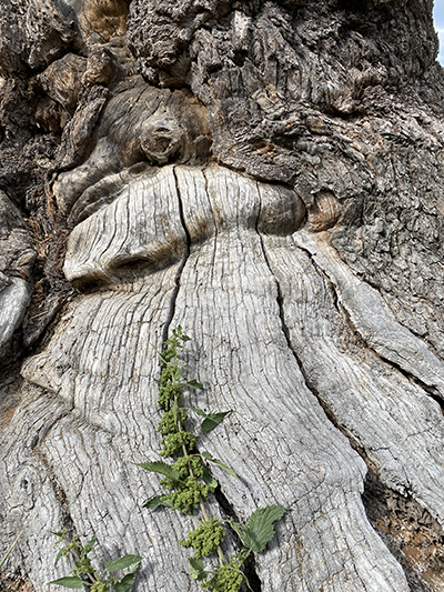 Ekebyhovsekens bark