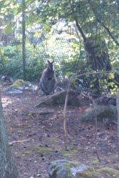 Kanguru vid Furuviksparken.